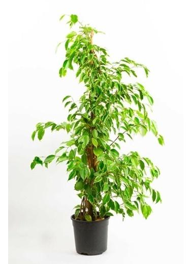Çiçek Antalya Çiçek Antalya Ficus Benjamin Starlight (100110 Cm) Yeşil